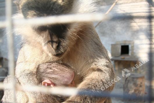 ВОдесском зоопарке впервый раз родилась зеленая мартышка