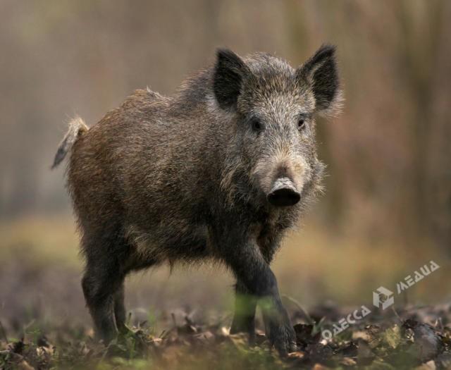 Очередную вспышку африканской чумы свиней зафиксировали в Одесской области