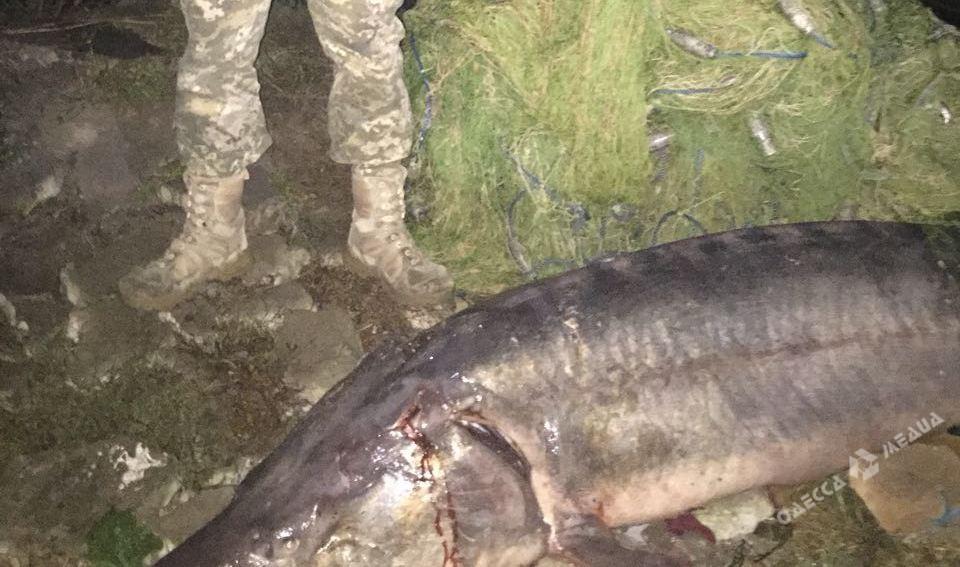 Таможенники задержали 2-х браконьеров с100-килограммовой белугой