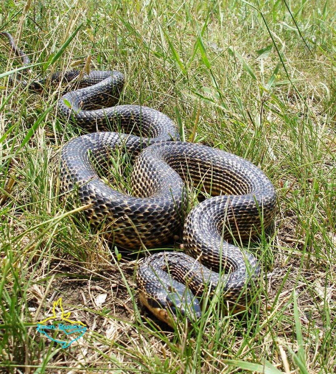 6add891532f8602c2e3f59b1760267be В Одесской области обнаружили редкий вид змей